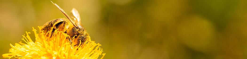 Biodiversité - Vegetosphere - abeille qui butine une fleur